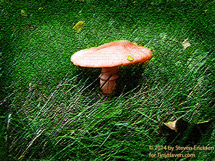 Shroom In The Grass